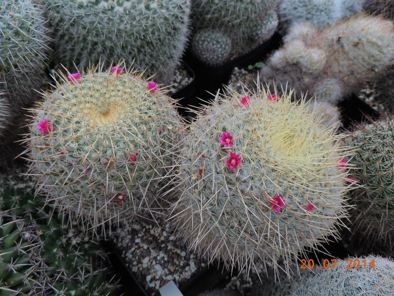 Cacti and Sukkulent in Köln, every day new flowers in the greenhouse Part 110 Bild1833