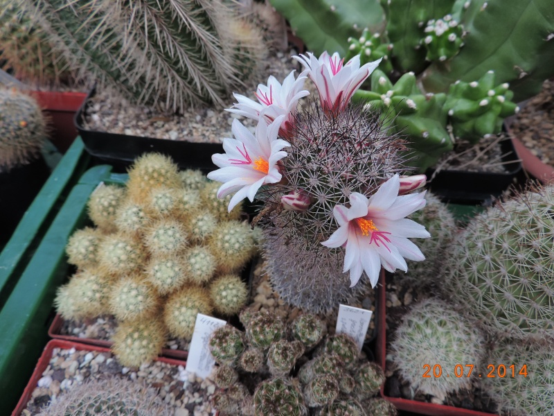 Cacti and Sukkulent in Köln, every day new flowers in the greenhouse Part 110 Bild1835