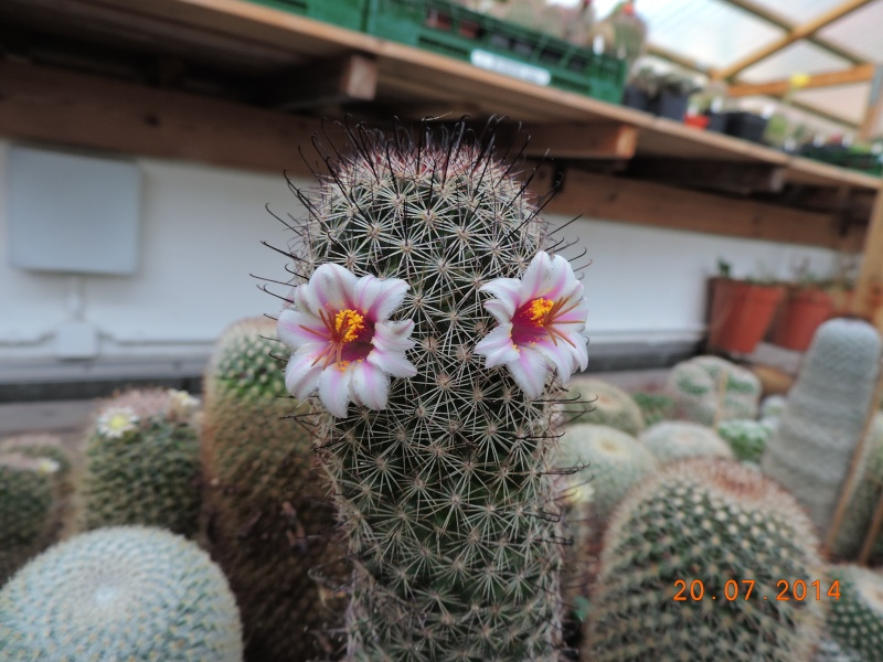 Cacti and Sukkulent in Köln, every day new flowers in the greenhouse Part 110 Bild1836