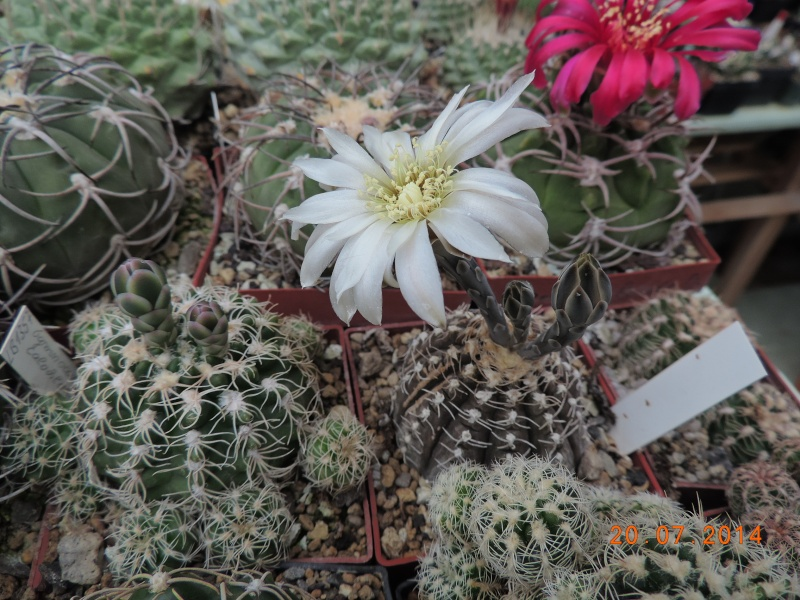 Cacti and Sukkulent in Köln, every day new flowers in the greenhouse Part 110 Bild1837