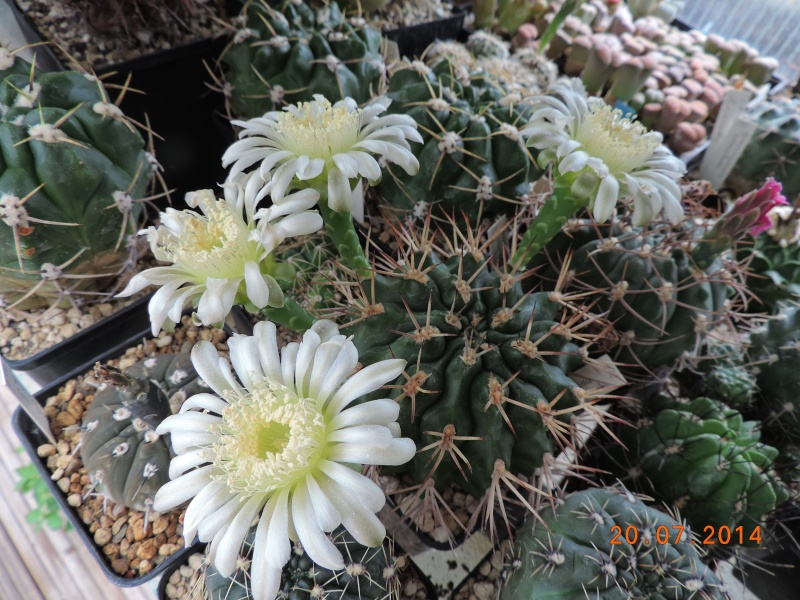 Cacti and Sukkulent in Köln, every day new flowers in the greenhouse Part 110 Bild1838