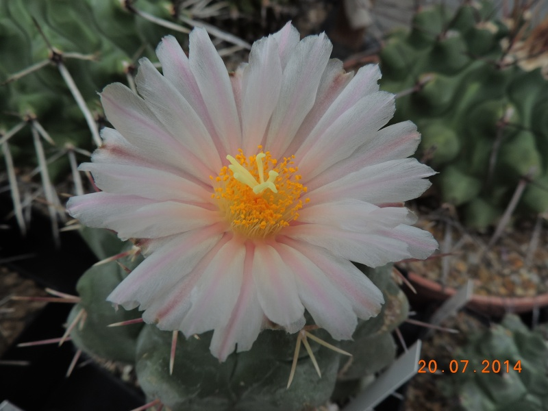 Cacti and Sukkulent in Köln, every day new flowers in the greenhouse Part 110 Bild1840