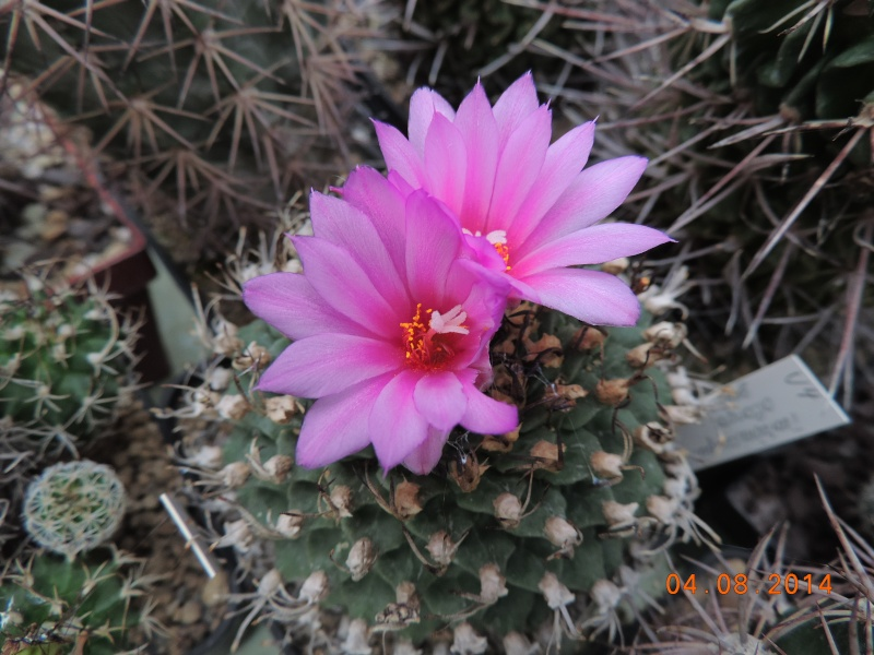 Cacti and Sukkulent in Köln, every day new flowers in the greenhouse Part 114 Bild1851
