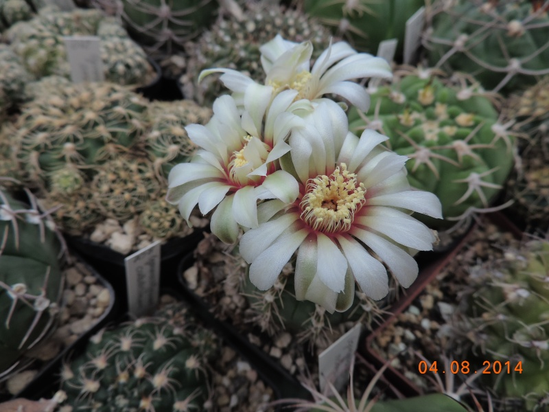 Cacti and Sukkulent in Köln, every day new flowers in the greenhouse Part 114 Bild1868