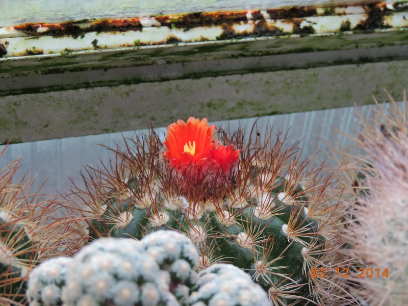 Cacti and Sukkulent in Köln, every day new flowers in the greenhouse Part 114 Bild1902