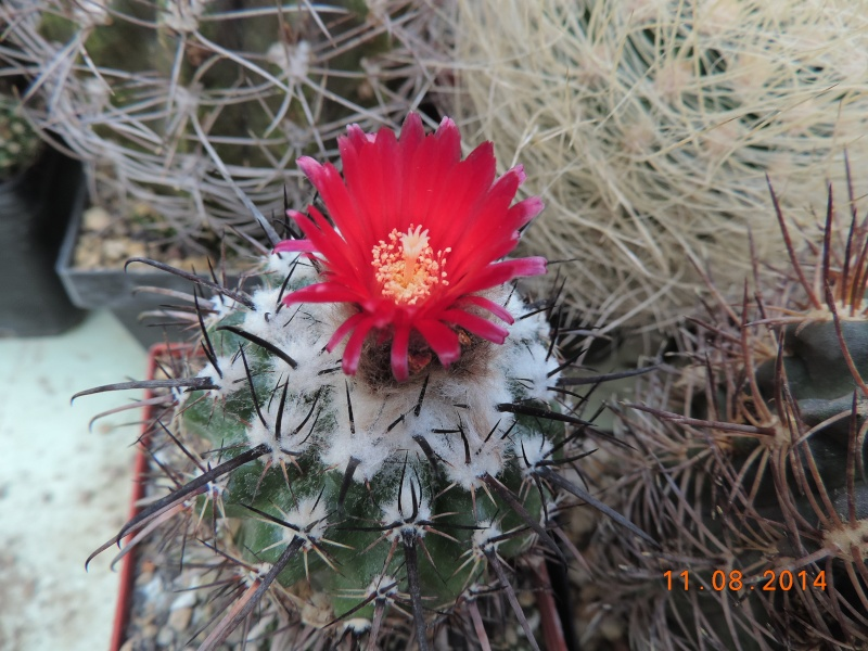 Cacti and Sukkulent in Köln, every day new flowers in the greenhouse Part 115 Bild1920