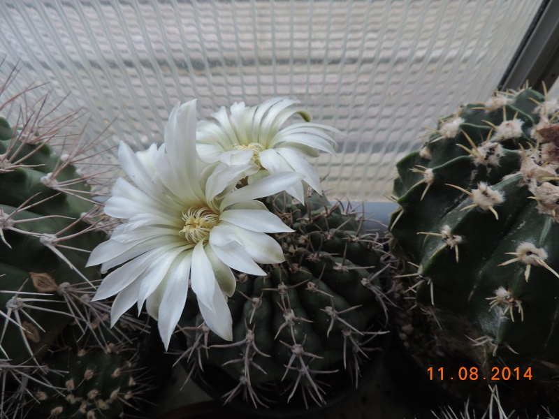 Cacti and Sukkulent in Köln, every day new flowers in the greenhouse Part 115 Bild1924