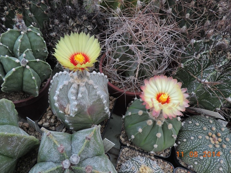 Cacti and Sukkulent in Köln, every day new flowers in the greenhouse Part 115 Bild1928
