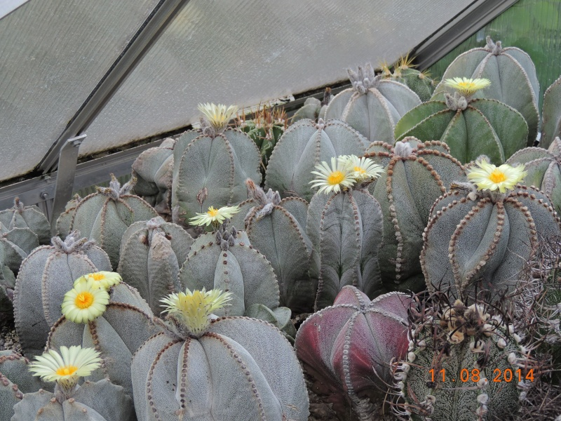 Cacti and Sukkulent in Köln, every day new flowers in the greenhouse Part 115 Bild1930