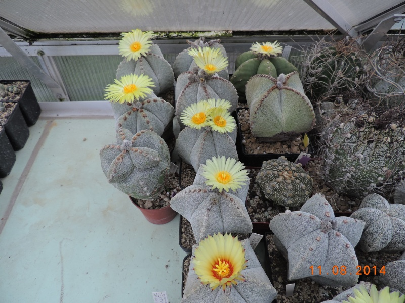 Cacti and Sukkulent in Köln, every day new flowers in the greenhouse Part 115 Bild1931