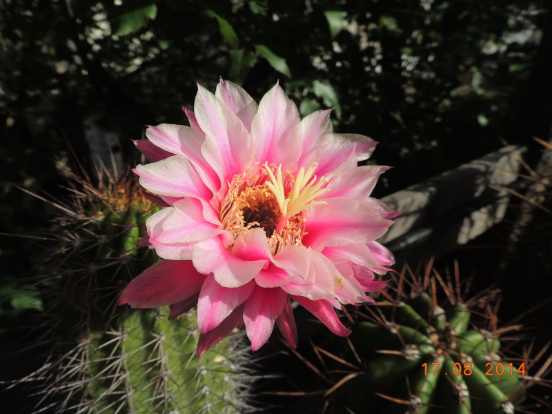 Cacti and Sukkulent in Köln, every day new flowers in the greenhouse Part 115 Bild1937