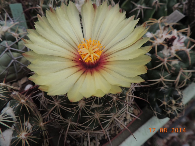 Cacti and Sukkulent in Köln, every day new flowers in the greenhouse Part 115 Bild1943