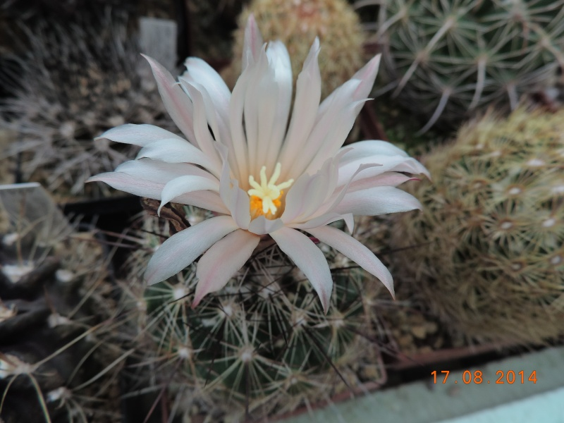 Cacti and Sukkulent in Köln, every day new flowers in the greenhouse Part 115 Bild1944
