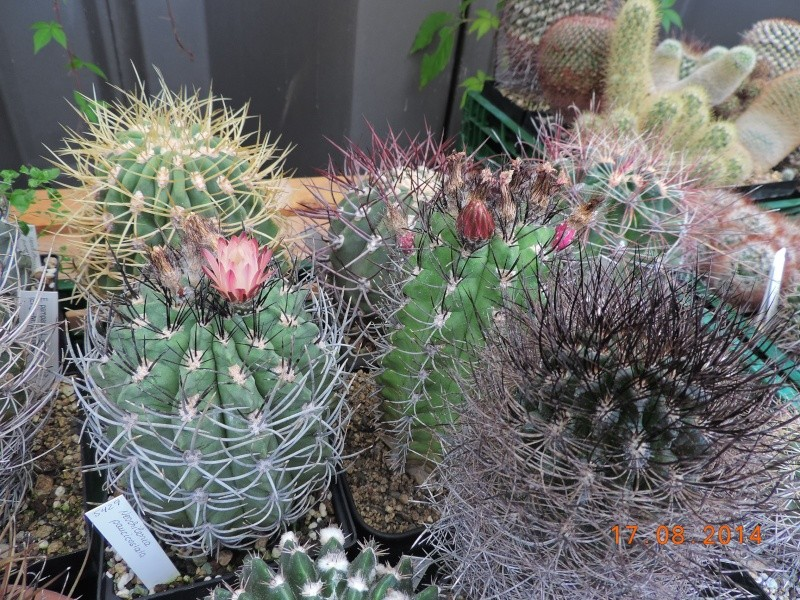 Cacti and Sukkulent in Köln, every day new flowers in the greenhouse Part 115 Bild1949