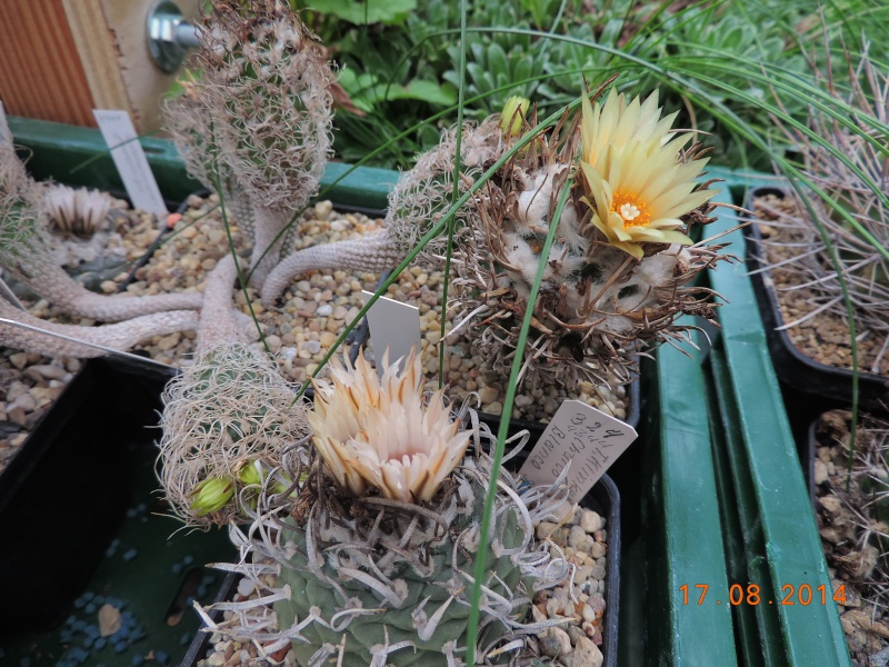 Cacti and Sukkulent in Köln, every day new flowers in the greenhouse Part 115 Bild1950