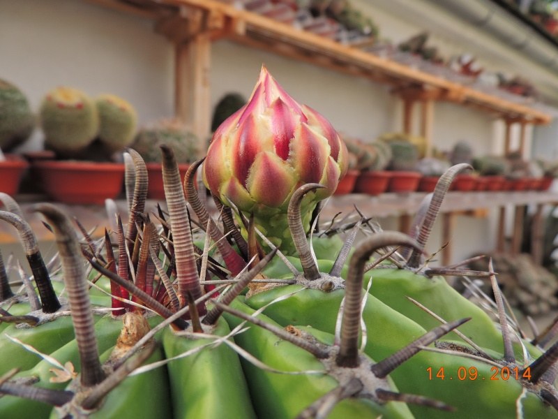 Cacti and Sukkulent in Köln, every day new flowers in the greenhouse Part 115 Bild1961
