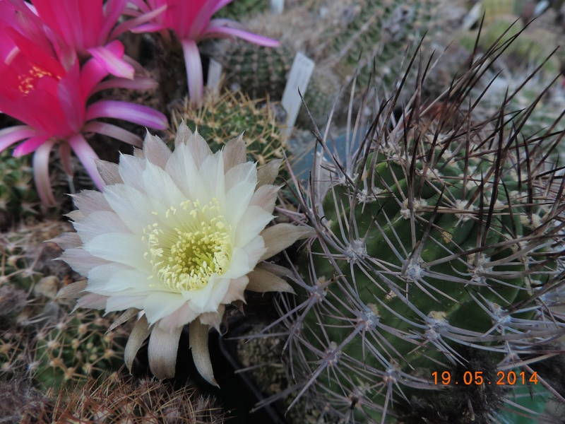 Cacti and Sukkulent in Köln, every day new flowers in the greenhouse Part 95 Bild_100