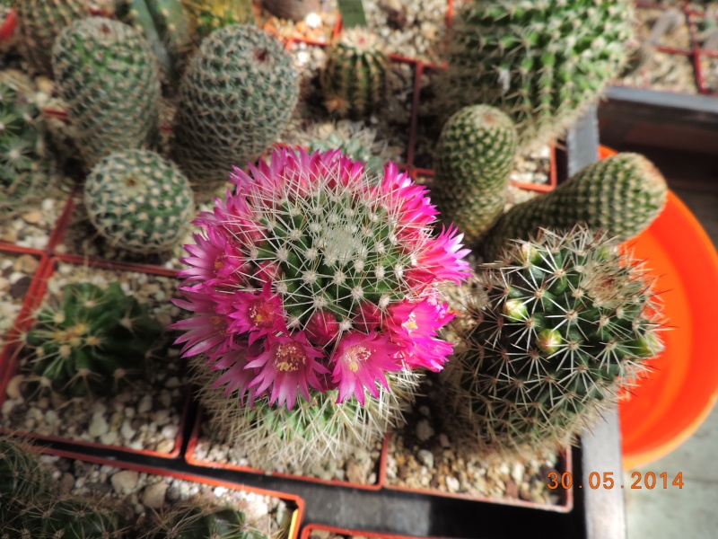 Cacti and Sukkulent in Köln, every day new flowers in the greenhouse Part 98 Bild_315