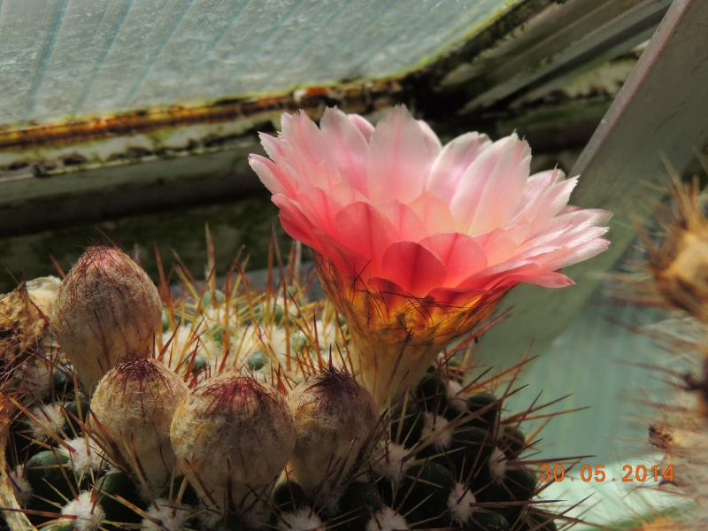 Cacti and Sukkulent in Köln, every day new flowers in the greenhouse Part 98 Bild_321