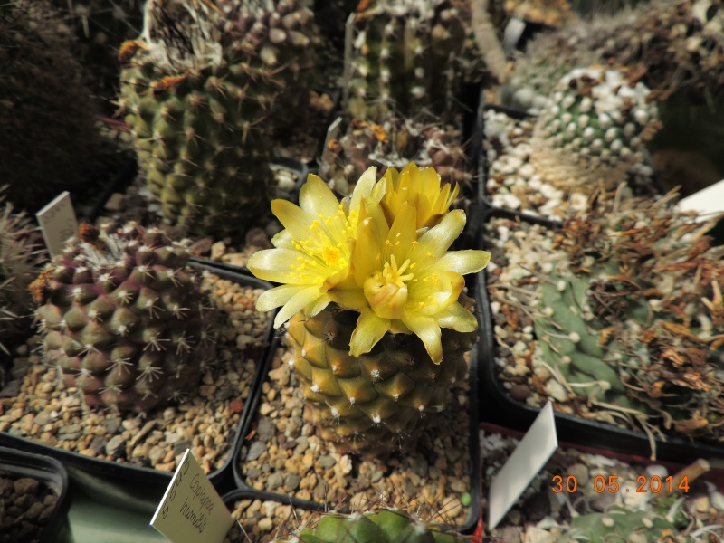 Cacti and Sukkulent in Köln, every day new flowers in the greenhouse Part 98 Bild_323
