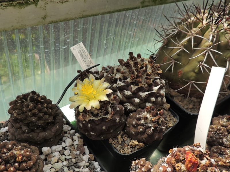 Cacti and Sukkulent in Köln, every day new flowers in the greenhouse Part 98 Bild_324