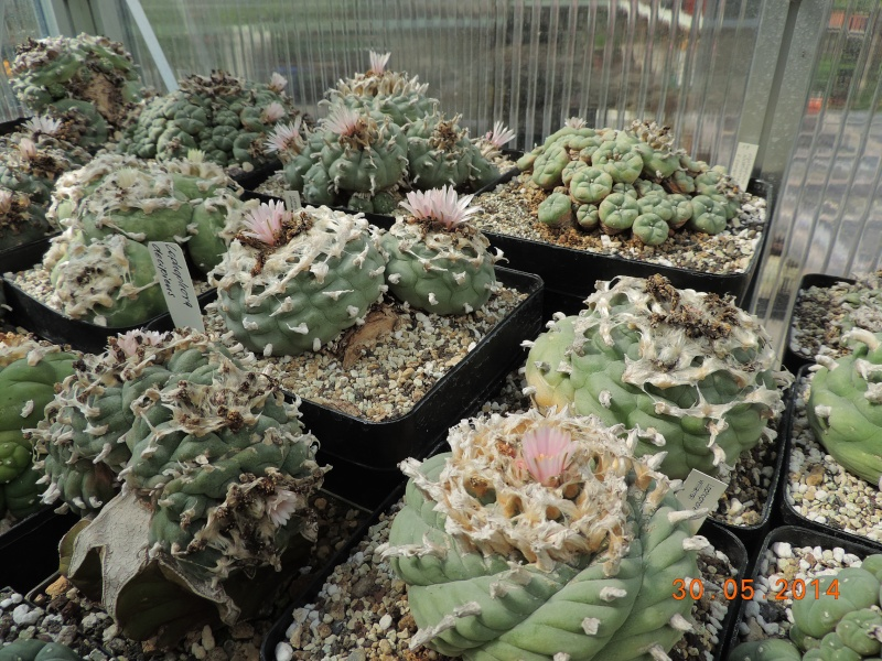 Cacti and Sukkulent in Köln, every day new flowers in the greenhouse Part 98 Bild_332