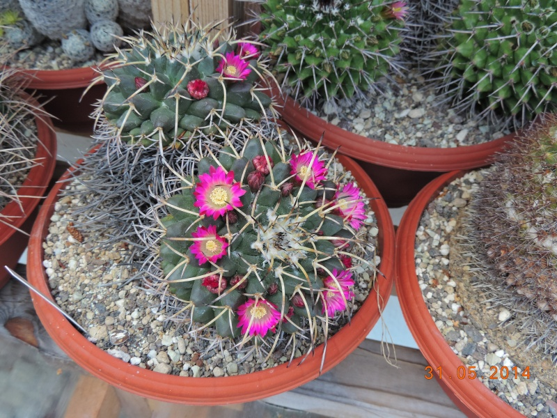 Cacti and Sukkulent in Köln, every day new flowers in the greenhouse Part 98 Bild_344
