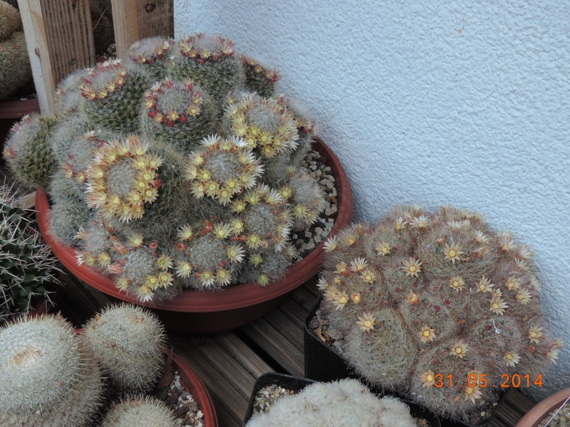 Cacti and Sukkulent in Köln, every day new flowers in the greenhouse Part 98 Bild_347