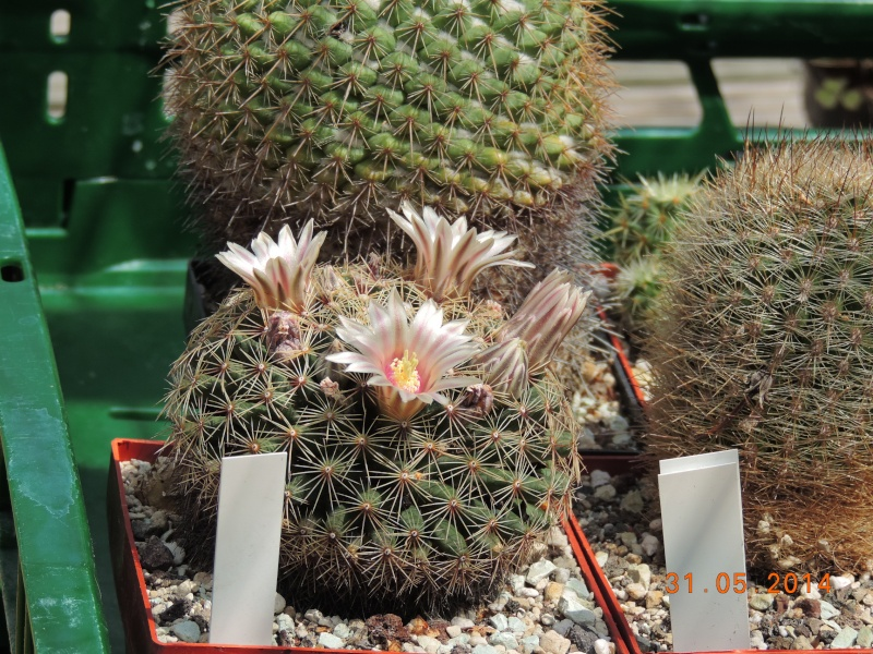 Cacti and Sukkulent in Köln, every day new flowers in the greenhouse Part 98 Bild_352
