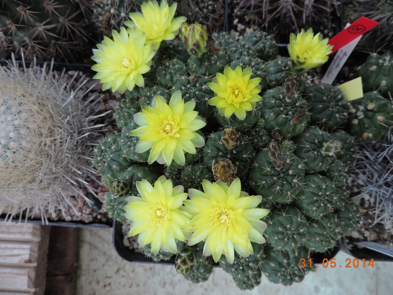 Cacti and Sukkulent in Köln, every day new flowers in the greenhouse Part 98 Bild_353