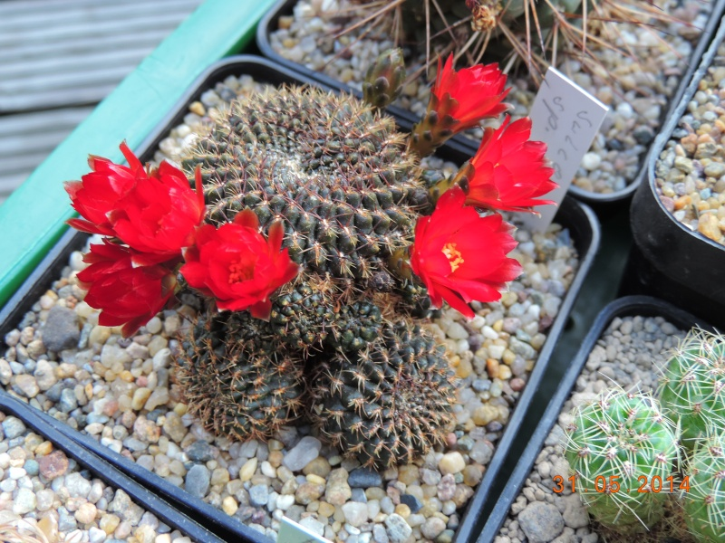 Cacti and Sukkulent in Köln, every day new flowers in the greenhouse Part 98 Bild_360