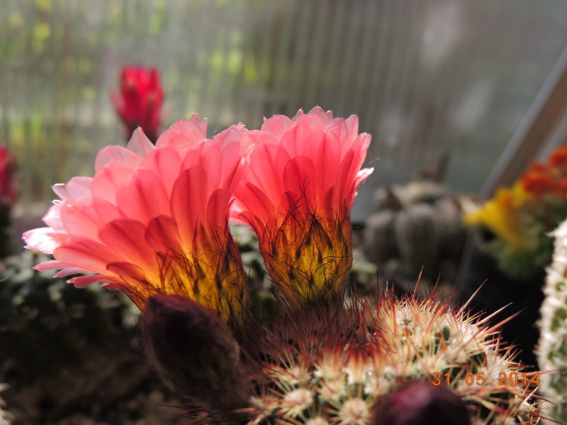 Cacti and Sukkulent in Köln, every day new flowers in the greenhouse Part 98 Bild_365