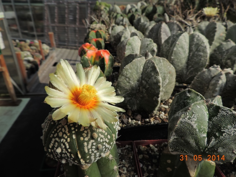 Cacti and Sukkulent in Köln, every day new flowers in the greenhouse Part 98 Bild_367