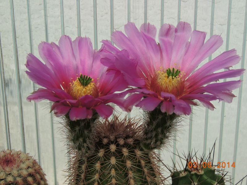 Cacti and Sukkulent in Köln, every day new flowers in the greenhouse Part 98 Bild_375