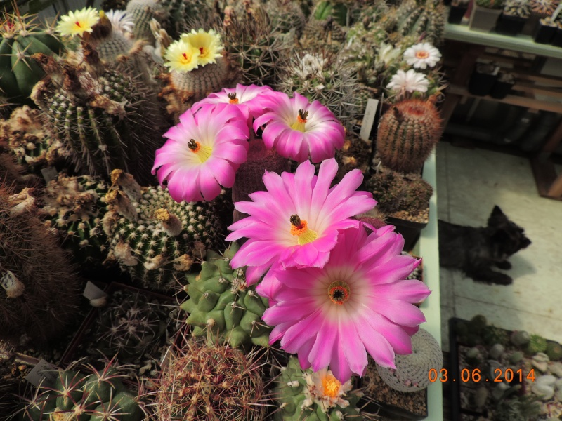 Cacti and Sukkulent in Köln, every day new flowers in the greenhouse Part 98 Bild_376