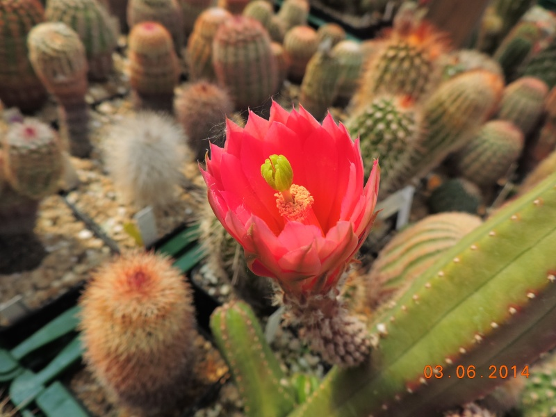Cacti and Sukkulent in Köln, every day new flowers in the greenhouse Part 98 Bild_378