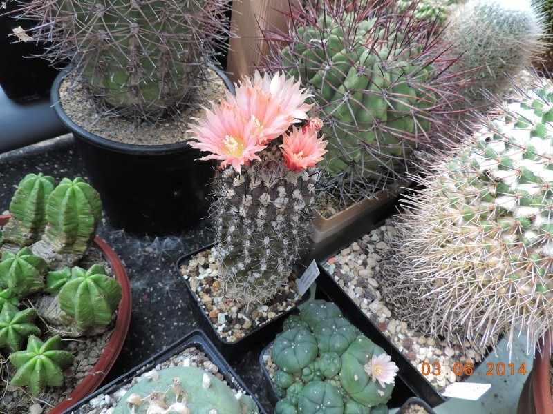 Cacti and Sukkulent in Köln, every day new flowers in the greenhouse Part 98 Bild_381