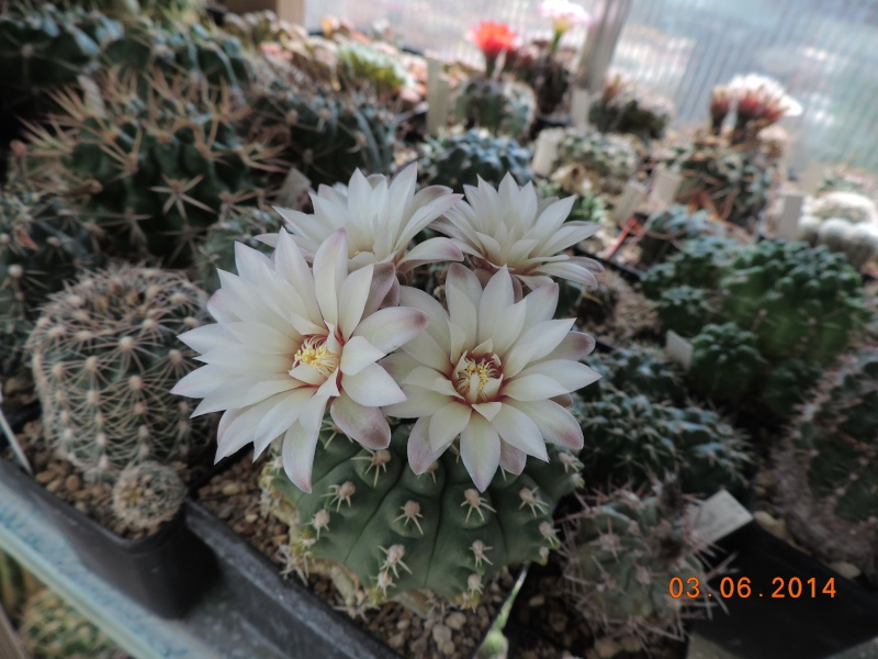 Cacti and Sukkulent in Köln, every day new flowers in the greenhouse Part 98 Bild_382