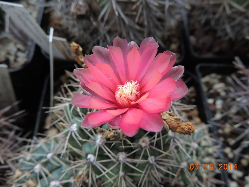 Cacti and Sukkulent in Köln, every day new flowers in the greenhouse Part 98 Bild_385