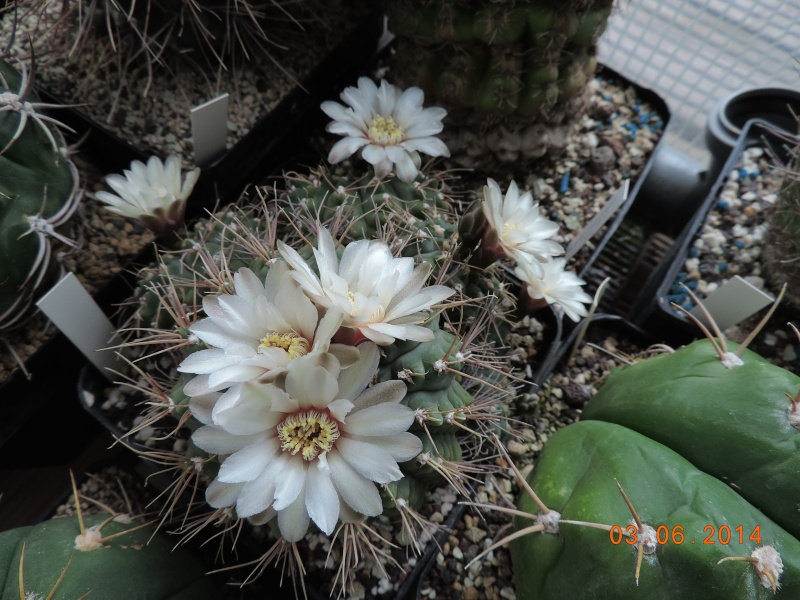 Cacti and Sukkulent in Köln, every day new flowers in the greenhouse Part 98 Bild_387
