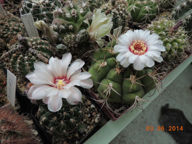 Cacti and Sukkulent in Köln, every day new flowers in the greenhouse Part 98 Bild_389