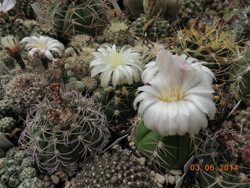 Cacti and Sukkulent in Köln, every day new flowers in the greenhouse Part 98 Bild_390