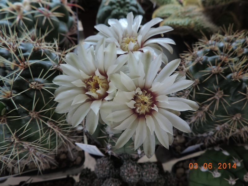 Cacti and Sukkulent in Köln, every day new flowers in the greenhouse Part 98 Bild_392