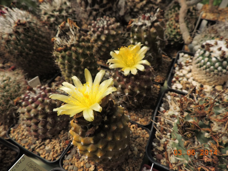 Cacti and Sukkulent in Köln, every day new flowers in the greenhouse Part 98 Bild_395