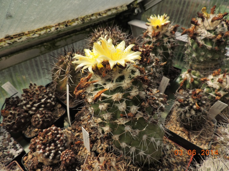 Cacti and Sukkulent in Köln, every day new flowers in the greenhouse Part 98 Bild_396