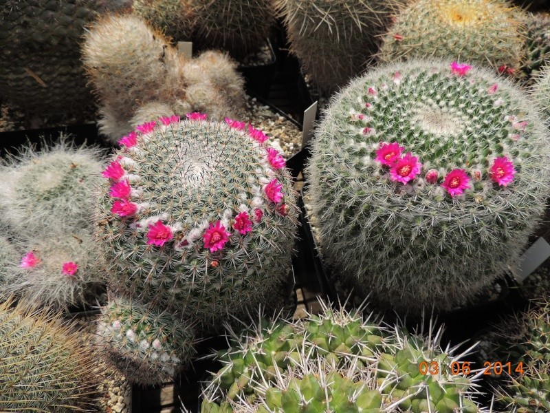 Cacti and Sukkulent in Köln, every day new flowers in the greenhouse Part 98 Bild_399