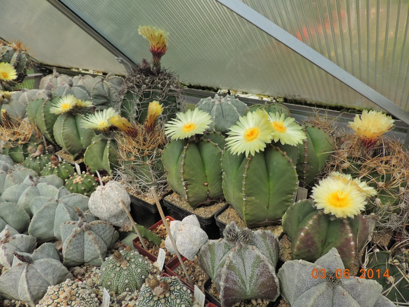 Cacti and Sukkulent in Köln, every day new flowers in the greenhouse Part 98 Bild_405