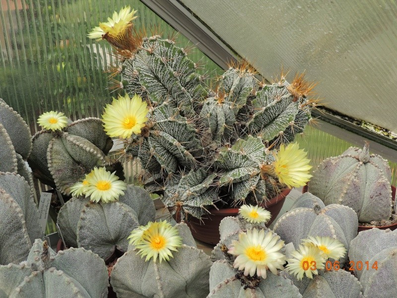 Cacti and Sukkulent in Köln, every day new flowers in the greenhouse Part 98 Bild_406
