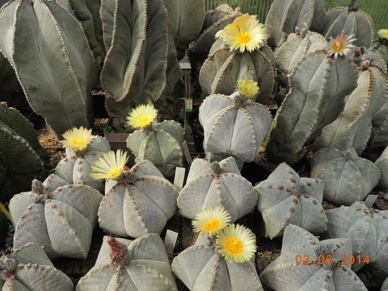 Cacti and Sukkulent in Köln, every day new flowers in the greenhouse Part 98 Bild_407