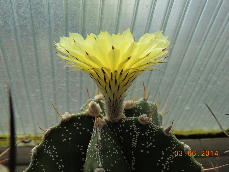 Cacti and Sukkulent in Köln, every day new flowers in the greenhouse Part 98 Bild_409